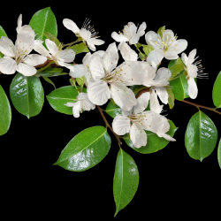 Carena-Sweet-Love-of-Spring-Cluster-11.th.png