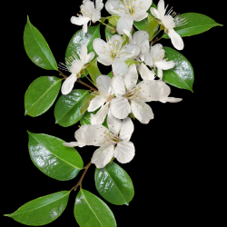 Carena-Sweet-Love-of-Spring-Cluster-7.th.png