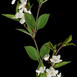 Carena-Sweet-Love-of-Spring-Cluster-9.th.png