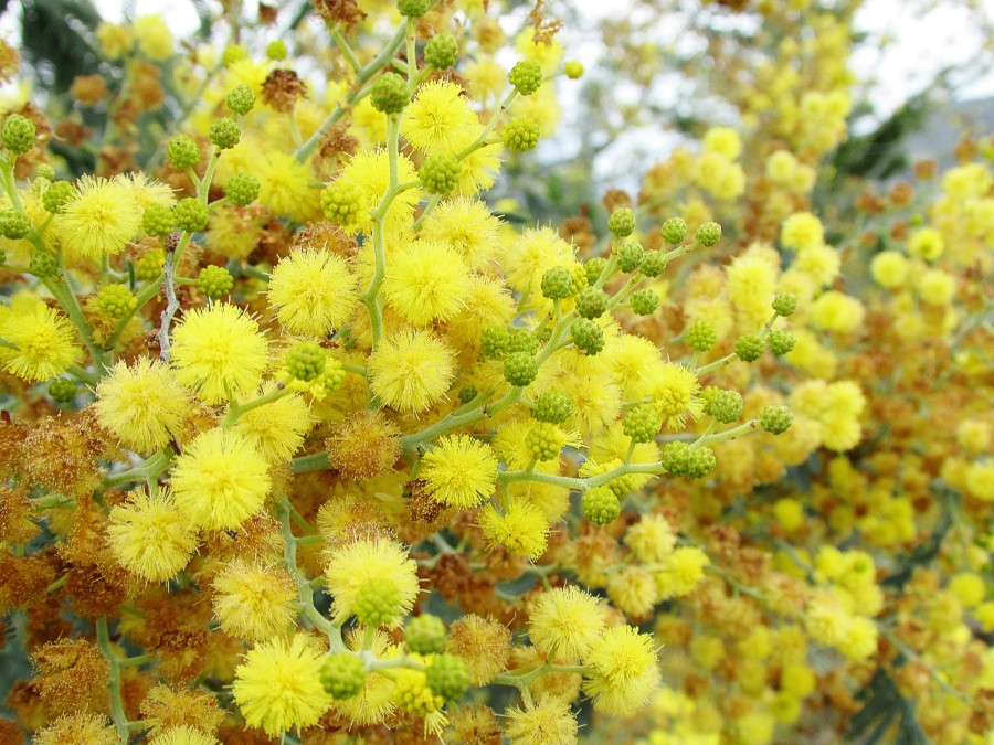 tree-nature-blossom-plant-flower-food-produce-evergreen-yellow-flora-flowers-shrub-mimosa-mahonia-flowering-plant-subshrub-woody-plant-land-plant-oregon-grape-576274.jpg