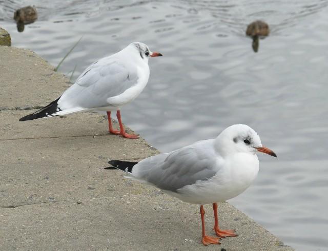 Зимние чайки